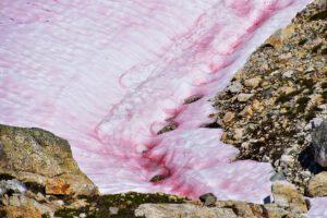 Blutschnee in den Kanadischen Rocky Mountains