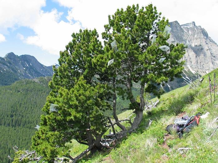 Whitebark Pine im Kootenay National Park